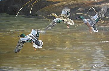 Settling in  - Northern shovelers by Ahsan Qureshi