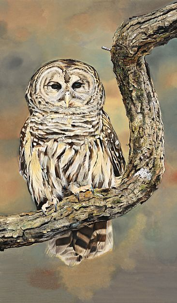 - Barred Owl by James Fiorentino