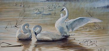 Wintering Trumpeters - Early morning on the trumpeter swans wintering grounds by Rob Dreyer