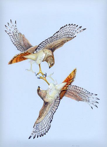 Two Red-tailed Hawks - Two Red-tailed Hawks by Pat Latas