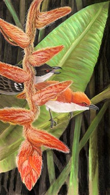 Great Antshrikes - Great Antshrikes and hairy heloconia by Pat Latas