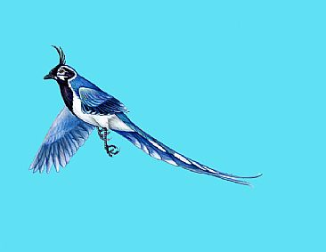Black-throated Magpie Jay - Black-throated Magpie Jay by Pat Latas