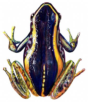 Phyllobates Poison Arrow Frog - Phyllobates Poison Arrow Frog by Pat Latas