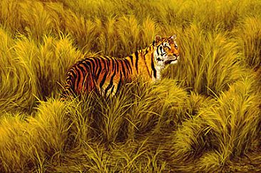 Study of Tiger in Long Grass - Wildlife by Phyllis Frazier