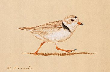 Piping Plover - I - Birds by Phyllis Frazier