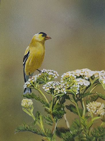 american goldfinch - bird by Margit Sampogna