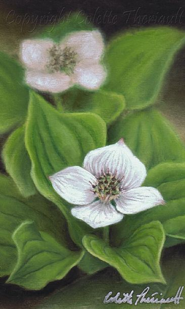 Spring's Promise (SOLD) - Canadian Bunchberry (Cornus canadensis)-botanical painting by Colette Theriault