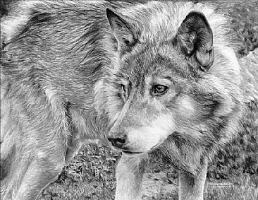 On the Prowl - Wolf - Wolf Portrait by Kevin Johnson