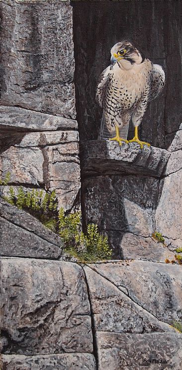 Cliff Hanger - Peregrine Falcon by Ron Plaizier