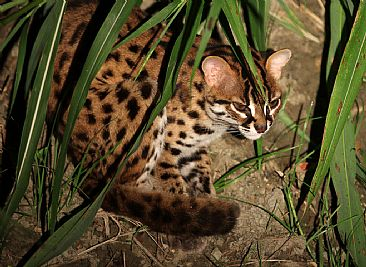 Leopard Cat - Leopard Cat seen in Borneo by Candy McManiman