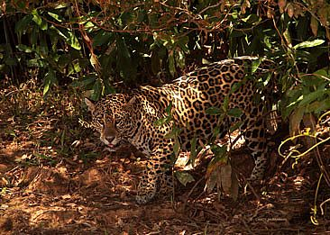 Hidden in Plain Sight - jaguar along river bank vegetation by Candy McManiman