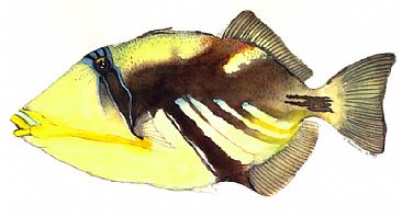 Hawaiian State Fish on Reef Trigger Fish   Humuhumu Nuku Nuku Apua A  Hawaii State Fish  By