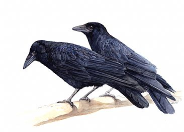 Carrion Crows -  by Kirsten Bomblies