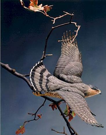 The Chase - Cooper's Hawk (View 1) - Cooper's Hawk by Patrick Godin
