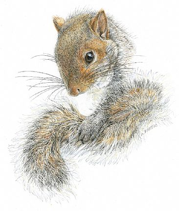 Western Gray Squirrel - Western Grey Squirrel portrait by Aleta Karstad