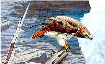Sentinal - Red-Tailed Hawk by Robert Kray