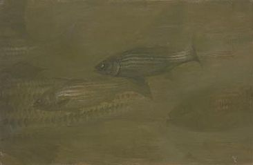 Sandy Hook, August - Striped Bass by Stanley Meltzoff