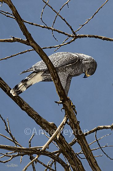 Tanglewood - Gray Hawk by Anne Peyton