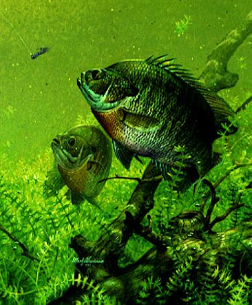 BLUEGILLS - Bluegills by Mark Susinno