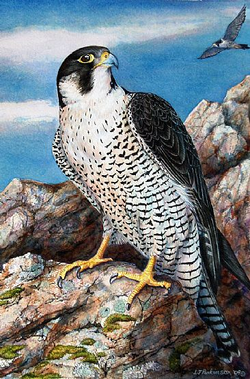 Speed Dreamer (sold) - Peregrine Falcon by Linda Parkinson