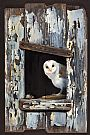The Old Barn - Barn Owl by Pollyanna Pickering (2)