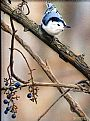 In The Grapevines - Nuthatch by Tim Donovan&nbsp(2)