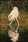 Reflection in Nature - Wolf by Brenda Angelstad&nbsp(2)
