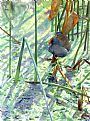 Gallinule in Reeds - Common Gallinule by Larry McQueen&nbsp(2)