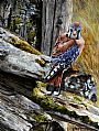 Split Rail Vigil - American Kestrel by Barry Bowerman&nbsp(2)