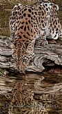 Endangered Reflections - Amur Leopard by Gemma Gylling&nbsp(2)