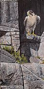 Cliff Hanger - Peregrine Falcon by Ron Plaizier&nbsp(2)