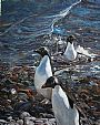 Shore Leave - Adelie penguins by Linda Besse (2)