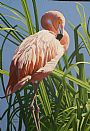 PREENING FLAMINGO - FLAMINGO by James Kiesow&nbsp(2)