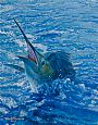 HOOKED SAILFISH STUDY - Sailfish by Mark Susinno&nbsp(2)