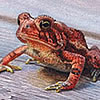 Nature Art - Wildlife Art - Reptiles & Amphibians, Frogs, Snakes, Toads