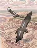 The Raptors Of Arizona - Nature Art by Richard Sloan (1935-2007)